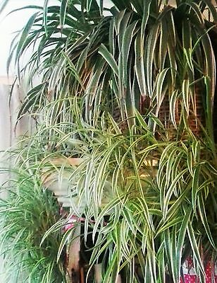 3 Large Baby Spider Plants - All Taken From This Wonderful Mother Plant