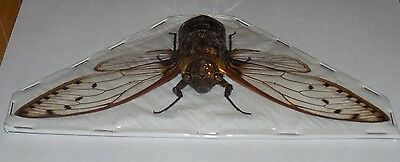 Huge Pomponia Merula Six Oclock Cicada Insect Indonesian Taxidermy