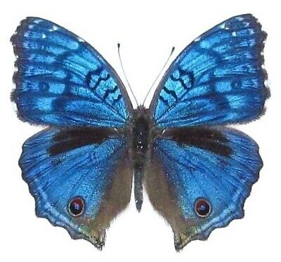 One Real Blue Precis Rhadama Africa Unmounted Wings Closed