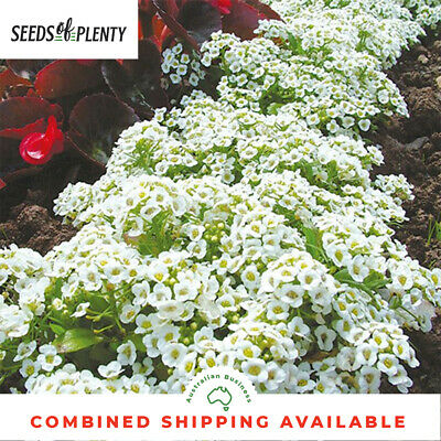 ALYSSUM  - Carpet of Snow (4000 Seeds)