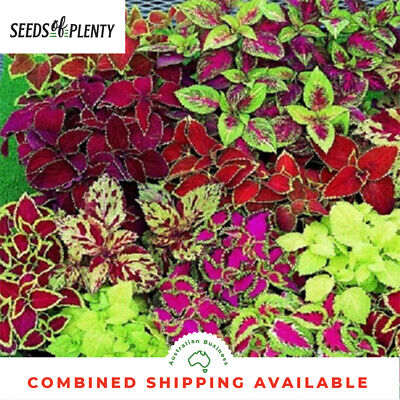 COLEUS - Floral Rainbow Improved (400 Seeds) OUTSTANDING MIXTURE OF COLOURS