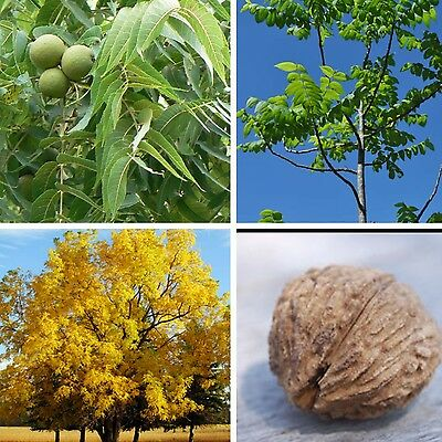 Black Walnut Tree JUGLANS NIGRA nut fruit wildlife food Autumn colours! Seeds