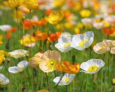 ALPINE POPPY MIX - 1600 seeds - Papaver alpinum - PERENNIAL FLOWER