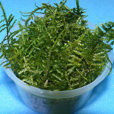 Java 4.2oz, Taxiphyllum Barbieri Formerly Vesicularia Dubyana, Java Moss, Moss