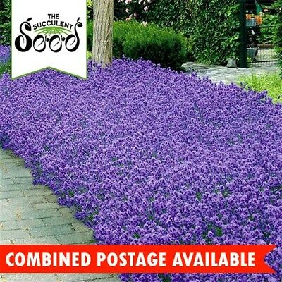 LAVENDER - Little Munstead (200 Seeds) Dwarf Variety for Hedges and Borders.