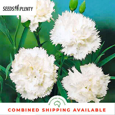 CARNATION - Jeanne Dionis (200 Seeds) Spectacular Blooms BEAUTIFUL CUT FLOWER