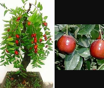 Jujube Tree - Tropical fruit tree! Ideal for houseplant/patio or bonsai tree