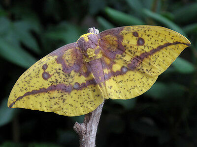 One Real Arizona Imperial Moth Eacles Oslari Unmounted Wings Closed
