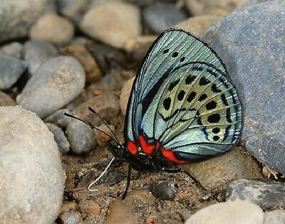 One Real Butterfly Blue Green Asterope Leprieuri Peru Unmounted Wings Closed