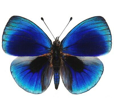 One Real Butterfly Blue Asterope Leprieuri Peru Unmounted Wings Closed