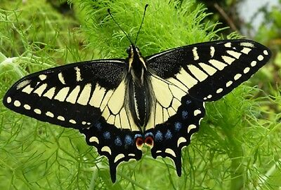 One Real Butterfly Tiger Swallowtail Papilio Zelicaon Unmounted Wings Closed