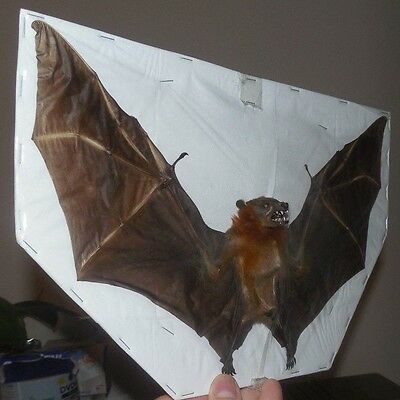 Big Cynopterus Brachyotis Lesser Short Nosed Spread Bat Indonesia Real Taxidermy