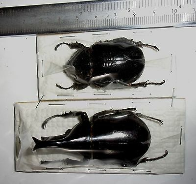 Xylotrupes sp male 58mm female 42mm from from Irian jaya Indonesia