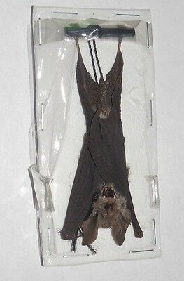 Rhinolophus Creaghi Hanging Real Bat Indonesia Real Taxidermy