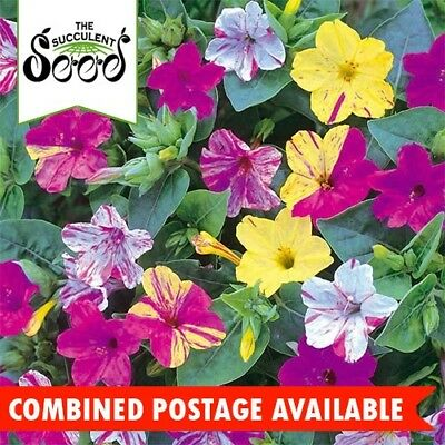 MIRABILIS - Four O'Clock  (25 Seeds) MARVEL OF PERU Scented Flowers BULK