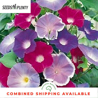 MORNING GLORY - Early Call Mix (30 Seeds) BEAUTIFUL VINING PLANT