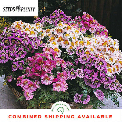 SCHIZANTHUS - Angel Wings Mixed (1000 Seeds) PROLIFIC BLOOMER Ideal for Pots