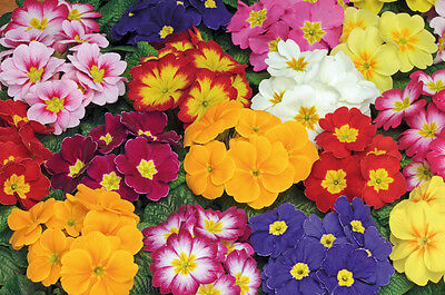 Primrose VULGARIS OREGON MIX Plug Plants X 20 WINTER COLOR polyanthus