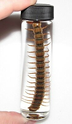 REAL RED GOLD DESERT CENTIPEDE PRESERVED WET SPECIMEN 4in VIAL