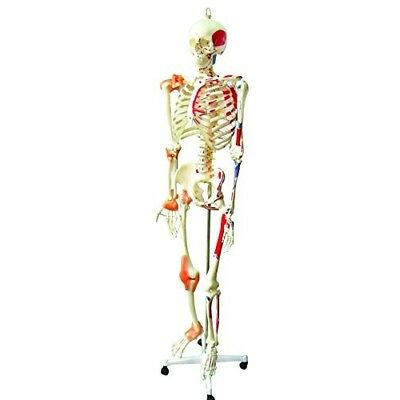Walter Products B10215 Medical Life Size Human Skeleton Model with Muscles and L