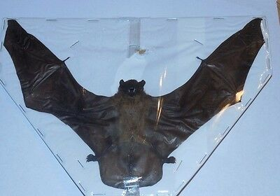 "9""+ Scotophilus Kuhlii Asiatic Yellow Real Bat Spread Indonesia Real Taxidermy"