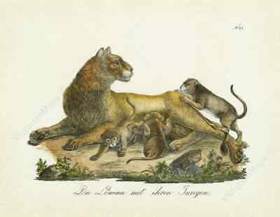 Lioness and lion cubs antique Regency engraving print Brodtmann 1816 art poster