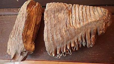 Wolly Mammoth tooth  1