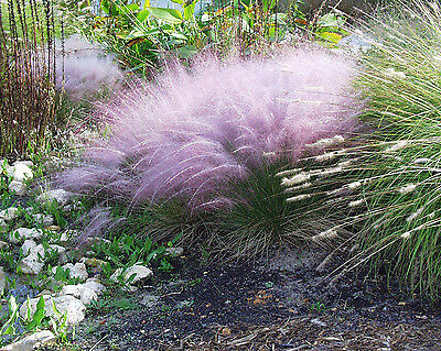 Ornamental Pink Purple Muhly Grass Seeds Showy Feather Blooms Border Plant Seed