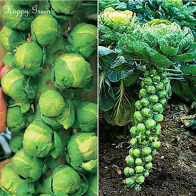 VEGETABLE - BRUSSEL SPROUTS -  600 SEEDS - CASIOPEA - A mid-late variety