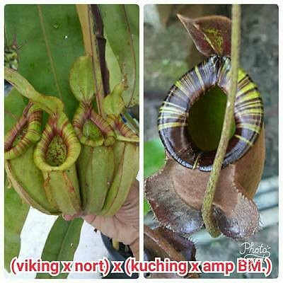 "FRESH Nepenthes ""(viking x north) x (kuching x amp BM)"" (20+ seeds)Carnivorous"