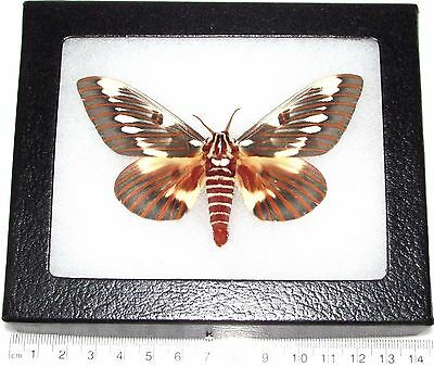 Real Framed Saturn Regal Moth Citheronia Splendens Male Saturniidae Arizona