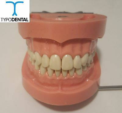 Typodont Dental Model TRM263Hard Gingiva compatible with Articulator