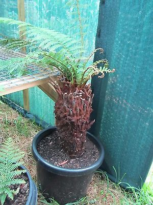 1.5 Meter Tree fern in 50 cm pot, ready to go, very healthy
