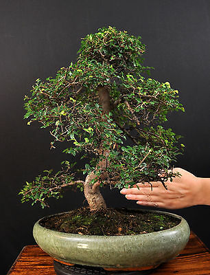 bonsai chinesische feige ficus retusa ca 50 jahre. Black Bedroom Furniture Sets. Home Design Ideas
