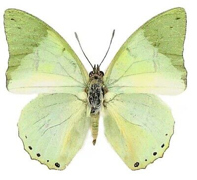 One Real Butterfly Green Charaxes Eupale Recto Africa Unmounted Wings Closed