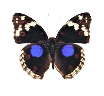 One Real Butterfly Blue Junonia Oenone Precis Clelia Buckeye Wings Closed Africa