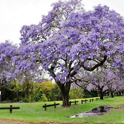 50pcs New Jacaranda Tree Amazing Ornamental Mimosifolia Plant Seeds Gifts