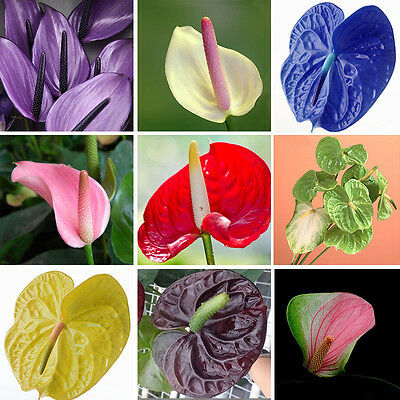 100pcs Mix Color Mix Anthurium Andraeanu Seeds, Palm shape Flower Seeds Rare Hot