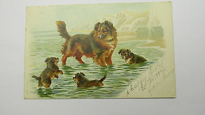 1904 Edwardian Antique Postcard Dark Mahogany Sable Border Collie Dog Puppies