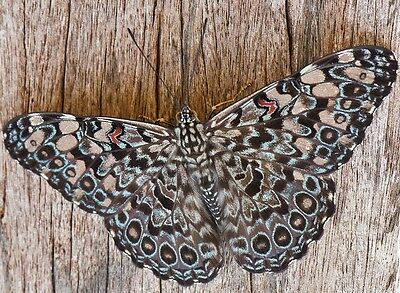One Real Butterfly Blue White Hamadryas Feronia Peru Unmounted Wings Closed