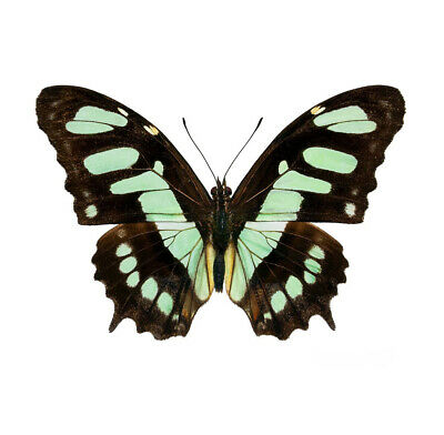 One Real Butterfly Green Siproeta Stelenes Malachite Top Unmounted Wings Closed