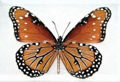 One Real Butterfly Danaus Gilippus Queen Monarch Mimic V Unmounted Wings Closed