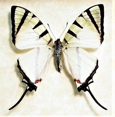 One Real Butterfly Graphium Agetes Swallowtail Unmounted Wings Closed
