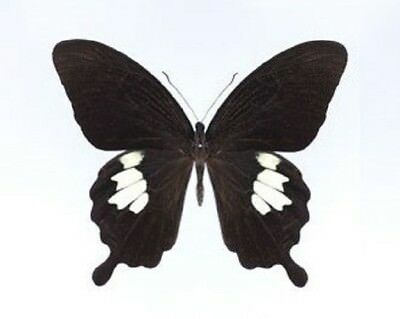One Real Butterfly Black White Papilio Nephelus Unmounted Wings Closed