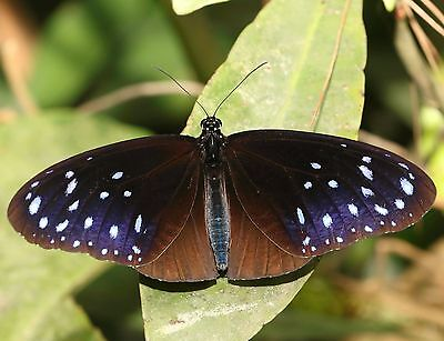 One Real Butterfly Blue Euploea Mulciber Unmounted Wings Closed