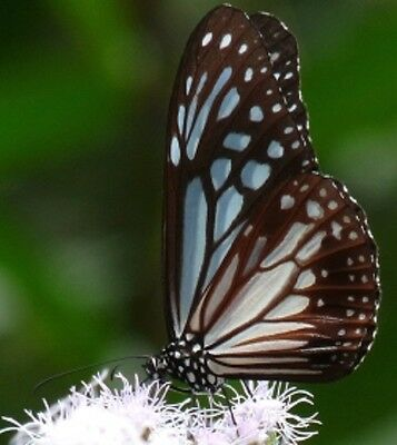 One Real Butterfly Black White Danaus Melaneus Malaysia Unmounted Wings Closed