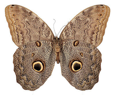 One Real Butterfly Owl Eye Caligo Eurilochus Unmounted Wholesale Wings Closed