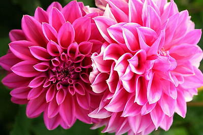 DAHLIA dinner plate 3 x PACKAGED BULBS 15cm Large Flowers soft PINK colour