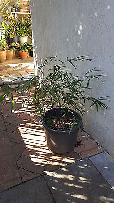 Black Bamboo Pot Plant