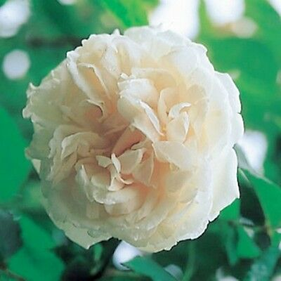 """ROSE BUSH CLIMBER  """"Madame Alfred Carriere""""  fragrant """" New Season Rose"""""""
